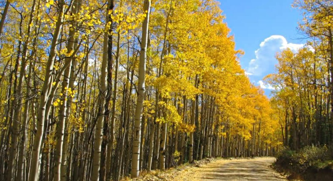 Dirt road surrounded by trees with white bark and yellow and orange leaves amidst blue skies with white clouds