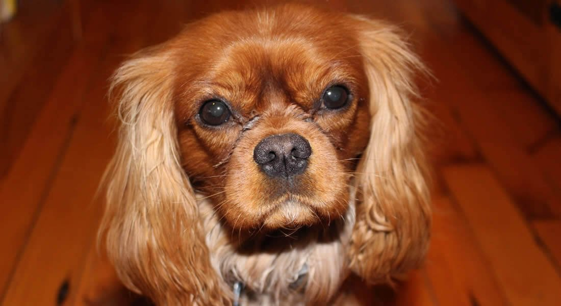 Small brown and beige dog with long furry ears, a black nose, sitting on a wood floor