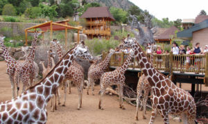 Giraffe's at the zoo