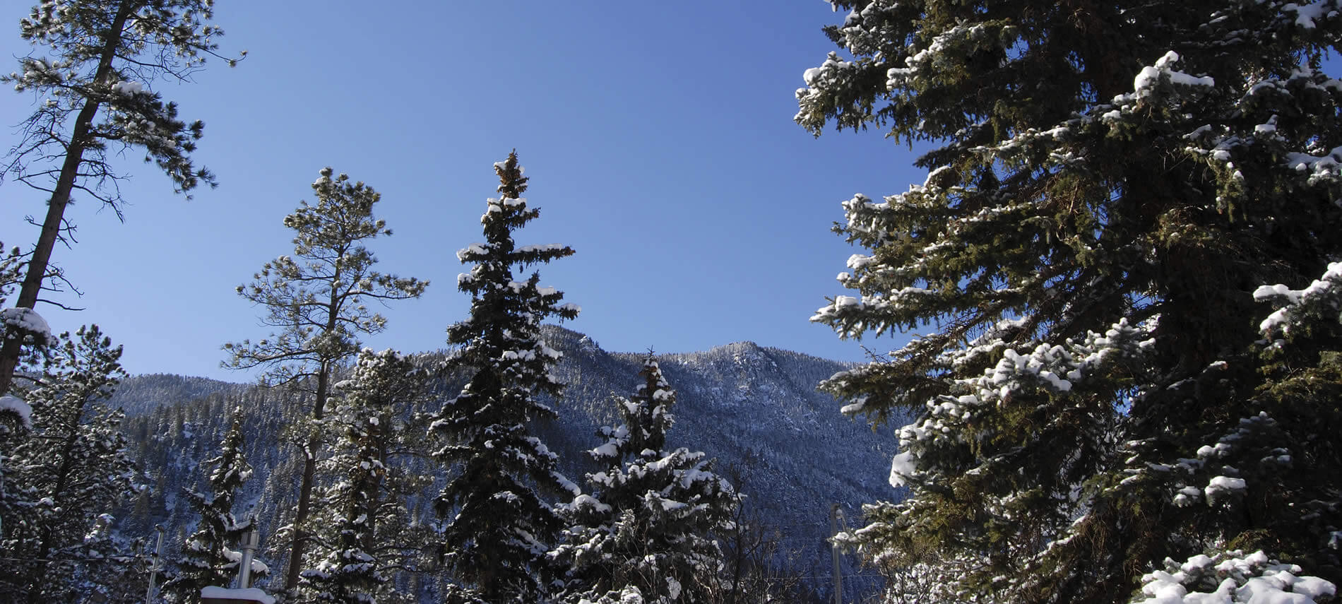 Snowcapped dark green pine trees in the forefront and trees covered mountains and blue skies in the background